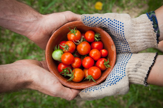 Two people's hands holding tomatoes from a harvest in a 501c5 agricultural organization
